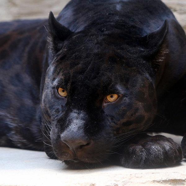 動物と会話ができる女性のお話。黒豹との会話で判明した意外な事実とは?!